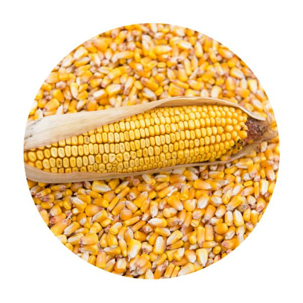 grano-maiz-ecologico